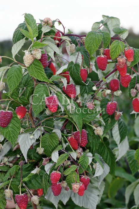 Ремонтантная малина Рубиновое ожерельеРемонтантная малина<br>Вот и подходит к концу солнечное лето. Уж нет на деревьях<br>сочной зелени.<br>