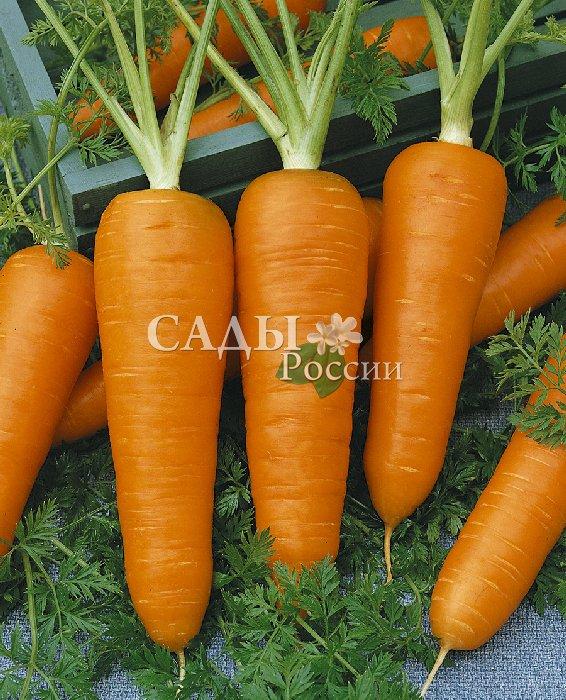 Морковь Маргарита F1Морковь<br>Гибрид среднего срока созревания, период вегетации 115 дней,<br>корнеплоды особенно выровненные, яркого оранжевого цвета,<br>с повышенным содержанием сахара, крупные и красивые.<br>