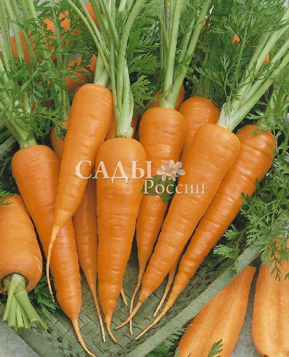 Морковь Поздняя сладкая F1Морковь самая сладкая<br>Самый поздний из особо сладких гибридов моркови. Корнеплоды<br>конические с широким основанием, очень сладкие и сочные,<br>превосходной тёмной красно-оранжевой окраски.<br>