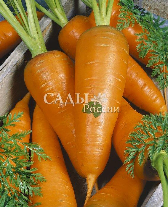 Морковь Сахарная мечта F1Морковь самая сладкая<br>Очень сладкая среднеспелая морковь, созревает на 10 дней<br>позже гибрида «Медовый спас». Прекрасно хранится до марта.<br>Урожайность до 8 кг с 1 кв.м.<br>
