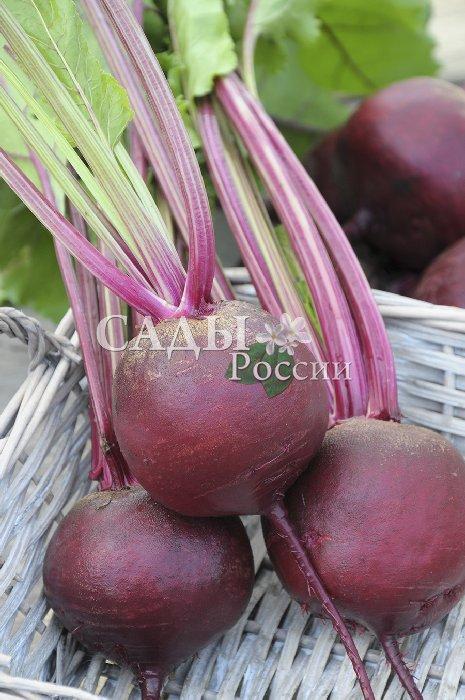 Свёкла Сеньорита F1Свёкла<br>Плоды идеальной круглой формы, универсальные, пригодны и для переработки,<br>и для салатов, и для хранения до весны.<br>
