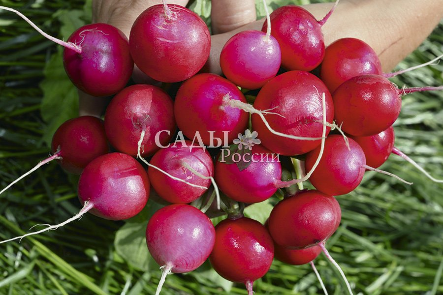 Редис Малиновый шар F1Редис<br>Гибрид специально создан для выращивания в открытом грунте в районах с резко континентальным<br>климатом.<br>