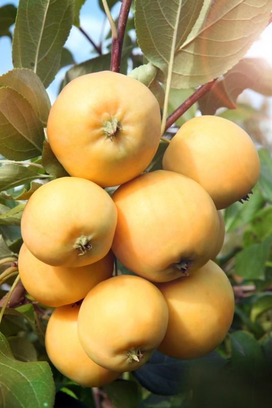 Яблоня Уральское наливноеЯблоня Осенние сорта<br>Деревья<br>среднерослые, очень рано вступают в плодоношение,<br>саженцы-двухлетки часто бывают с урожаем.<br>