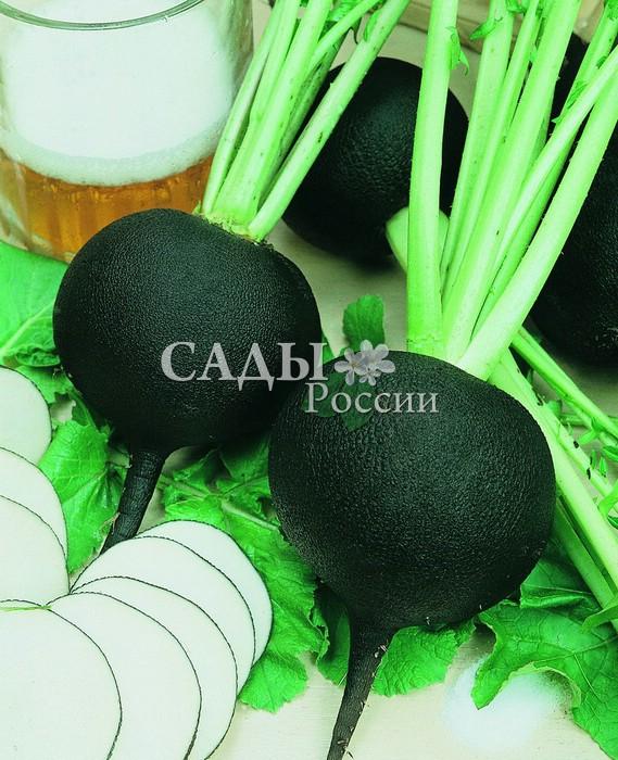Редька НегритянкаРедька<br>Корнеплод чёрный, плоскоокруглый, диаметром свыше 12 см. Мякоть<br>белая, плотная, очень сочная, остро-сладкого вкуса.<br>