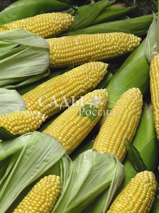 Кукуруза Золотой початок F1Кукуруза<br>Растение коренастое, крепкое,<br>на нём одновременно созревает по несколько<br>красивых увесистых початков конической формы, длиной 16—20 см, массой 230—250 г.<br>