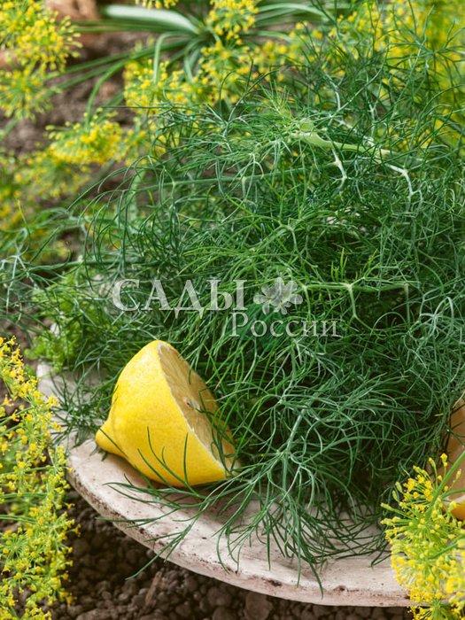 Укроп Абориген F1Пряновкусовые травы<br>Образует особо мощную резную розетку листьев. <br>Зелень нарастает быстро, долго сохраняет отличные вкусовые качества.<br>