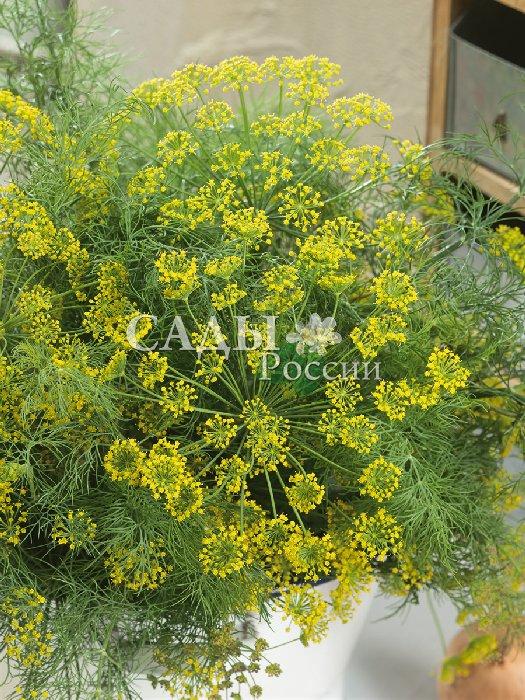 Укроп Маринадный экстра F1Пряновкусовые травы<br>Отличается оригинальным, очень сильным и<br>необыкновенно приятным запахом.<br>