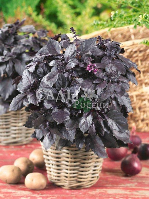 Базилик ОпалПряновкусовые травы<br>Некоторые травы имеют<br>настолько приятный вкус и запах, что их жалко смешивать с другими пряностями. Прежде всего это относится к базилику.<br>