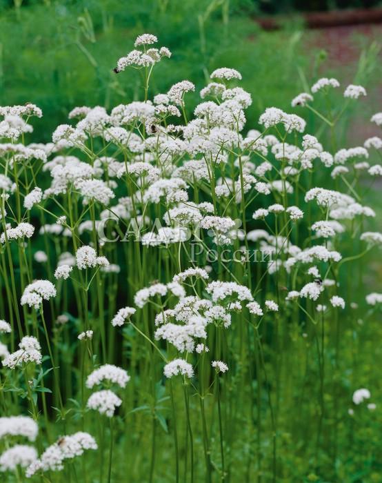 Валериана ЛекарьАптекарский огород<br>Будь сильным, будь здоровым. Эти слова говорил<br>Пантелеймон-целитель, раздавая корни валерианы<br>людям.<br>