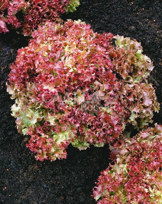 Салат Розан F1 полукочанныйПряновкусовые травы<br>Раннеспелый, первые листья уйдут в дело уже через 30 дней после посева.<br>