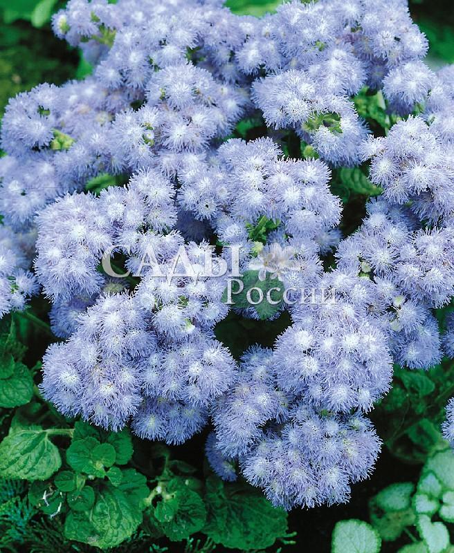 Агератум Голубой шарОднолетники<br>Голубой цвет.<br>
