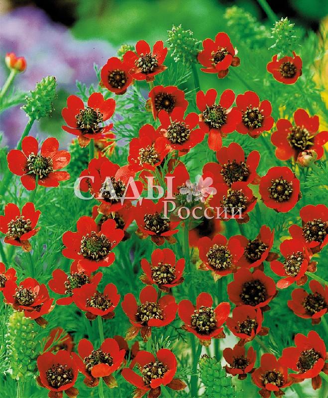 Адонис Уголёк в огнеОднолетники<br>Ярко-красные, светящиеся лепестки, с практически чёрной серединой. Очень эффектно смотрится на фоне ажурных листьев.<br>