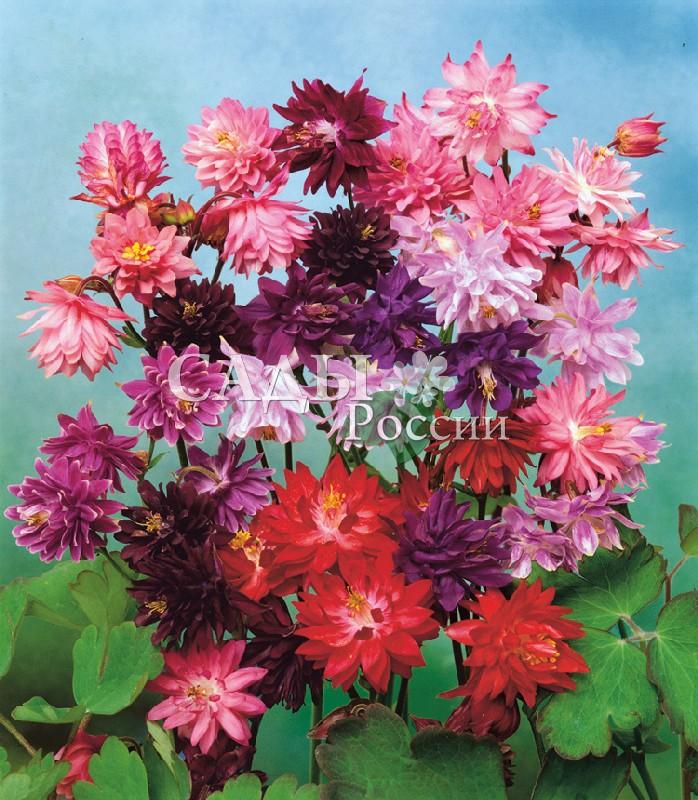 Аквилегия Винки Махровая яркий наборМноголетники<br>Необычные, плотные, махровые цветки различной окраски.<br>