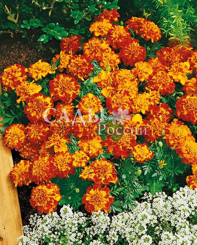 Бархатцы Бонанза Болеро африканскиеОднолетники<br>Высота 20 см, цветение обильное, длительное.<br>