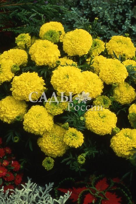 Бархатцы Каландо лимонные африканскиеОднолетники<br>Разрастаются в ширину до 40 см. Цветы<br>густомахровые, диаметром 8 см. Высота 30 см.<br>