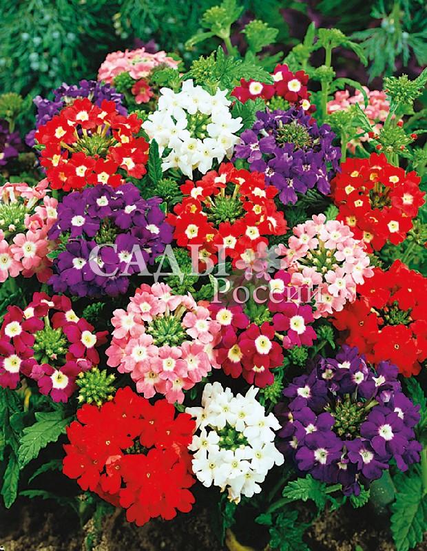 Вербена Разноцветное сияниеОднолетники<br>Красочным сиянием соцветий Вы будете наслаждаться с июля до самых<br>заморозков.<br>