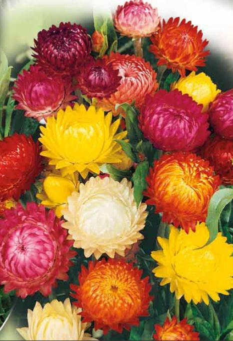 Гелихризум Швейцарский великан яркий наборСухоцветы<br><br>