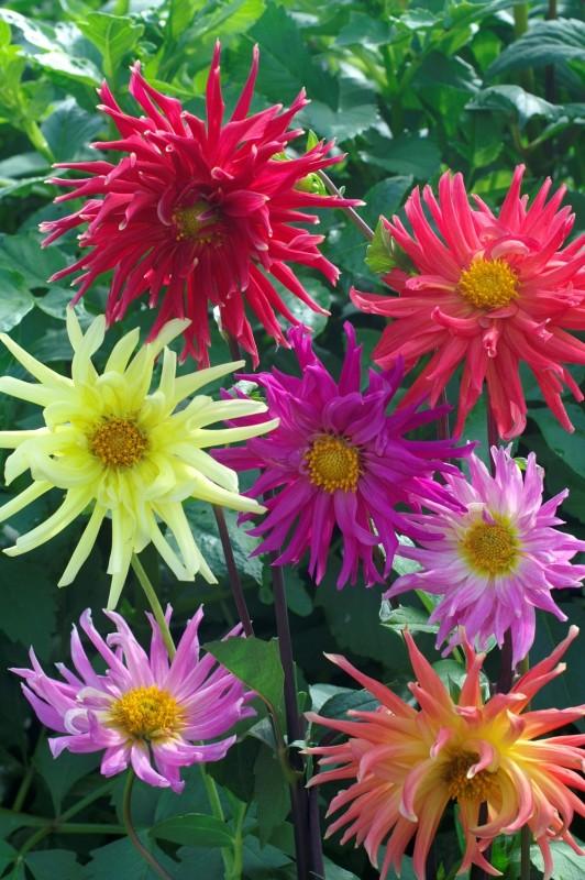 Георгины Кактус яркий наборОднолетники<br>Высота растения<br>120 см. Огромные, до 15 см диаметром, шапки цветов устремлены к свету.<br>