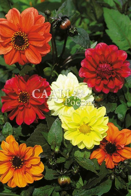 Георгины Мери яркий наборОднолетники<br>Цветы диаметром до 10 см. Разноцветные, махровые шары горделиво возвышаются над контейнерами, вазонами или классическими<br>клумбами.<br>