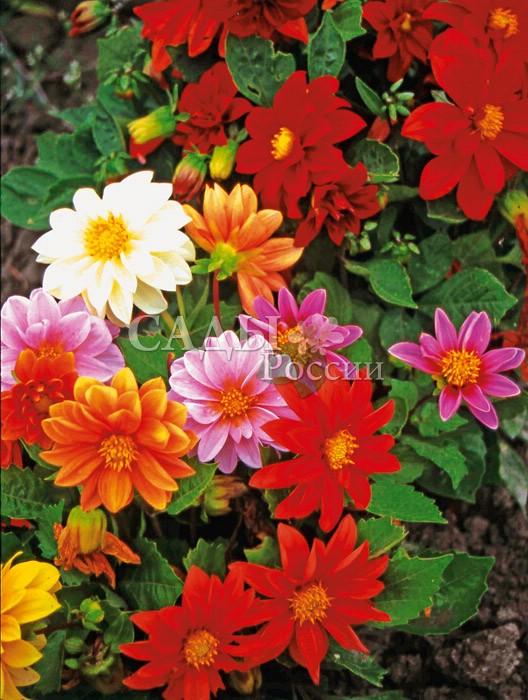 Георгины Ранние пташки яркий наборОднолетники<br>Открывает сезон георгинов уже в начале июля, и радует цветением до<br>первых заморозков.<br>