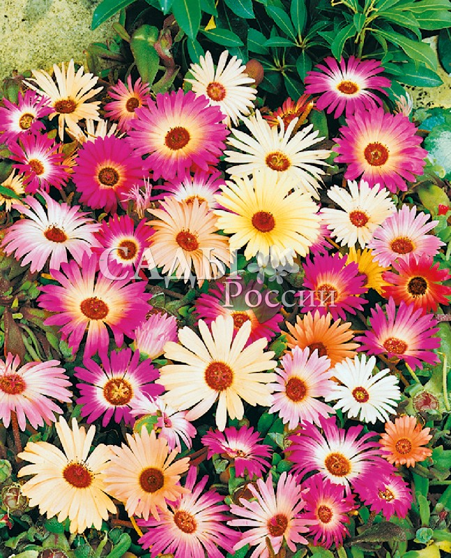 Доротеантус Краски летаОднолетники<br>Уникальное растение среди почвопокровных – укрывает плотным<br>ковром даже самые бедные почвы.<br>