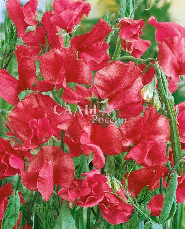 Душистый горошек Королевский красныйЛианы<br>Алые, очень крупные цветки удивительно похожи на экзотических бабочек.<br>