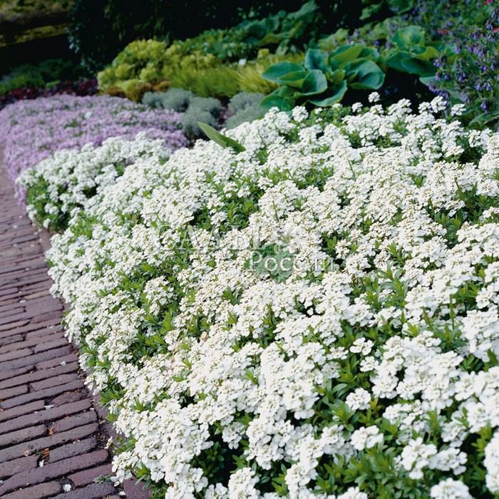 Иберис ГибралтарскийМноголетники<br>Очень давнее садовое растение. Оно выращивалось ещё в<br>Древней Греции.<br>
