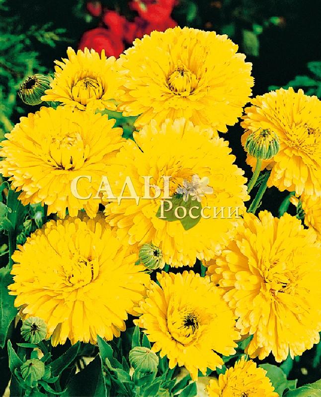 Календула Кендимен жёлтыйОднолетники<br>Низкорослая,<br>высотой не более 30 см.<br>