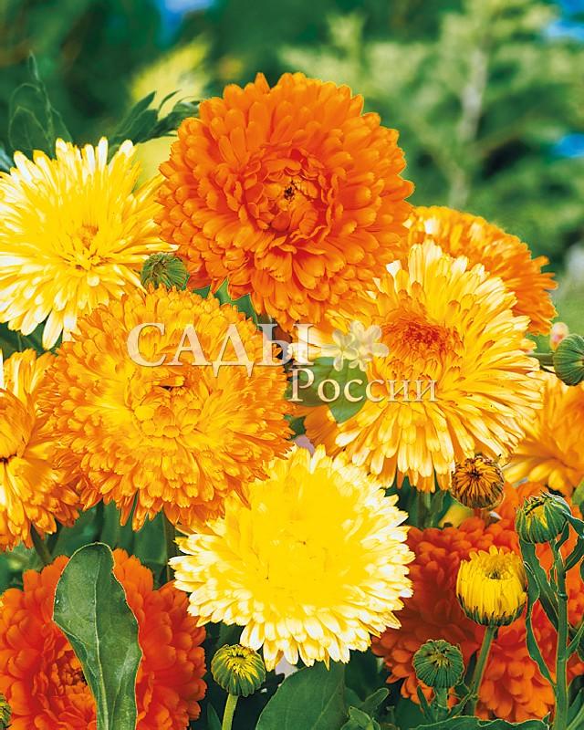 Календула Тихоокеанское очарование цветной наборОднолетники<br>Гигантские, ярко окрашенные махровые соцветия, до 7 см в диаметре,<br>просто зачаровывают.<br>