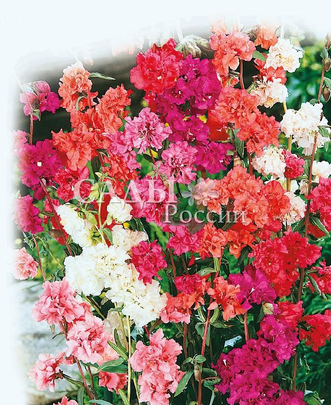 Кларкия Изящная яркий наборОднолетники<br>Сильноветвистое, очень изящное растение с густомахровыми цветками,<br>буквально облепившими стебель.<br>