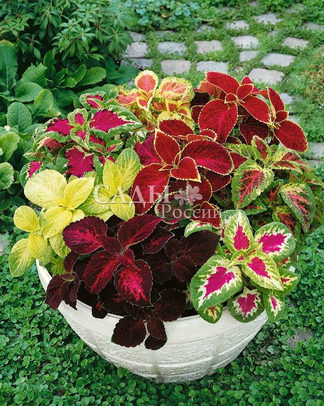Колеус Радуга яркий наборКомнатные растения<br>Знакомое Вам<br>комнатное растение, которое можно выращивать и в открытом<br>грунте.<br>