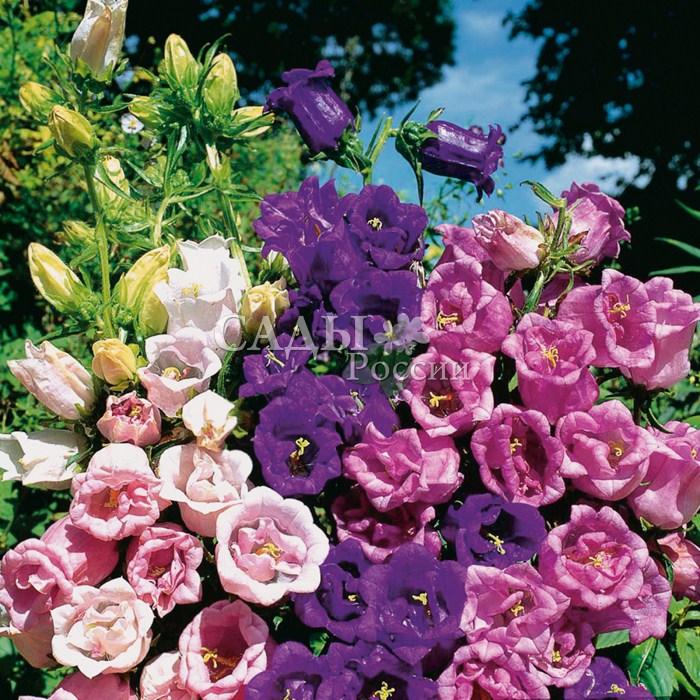 Колокольчик Махровый цветной набор среднийДвулетники<br>Бутоны крупных махровых цветов яркой, разнообразной окраски, длиной до 7 см, собраны в рыхлые кисти, красивые в любой<br>композиции.<br>