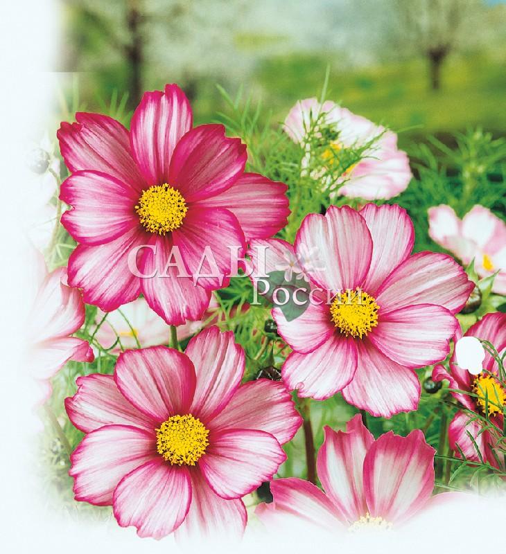 Космос Канди СтрайпОднолетники<br>Необычные «расписные» цветки не оставят равнодушным ни одного<br>человека, заглянувшего в Ваш сад.<br>