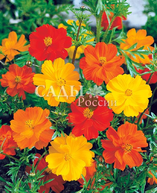 Космос КлондайкОднолетники<br>Махровые<br>цветы золотистого, кирпичного, оранжевого оттенков. Космос<br>скроет забор и некрасивый фундамент.<br>