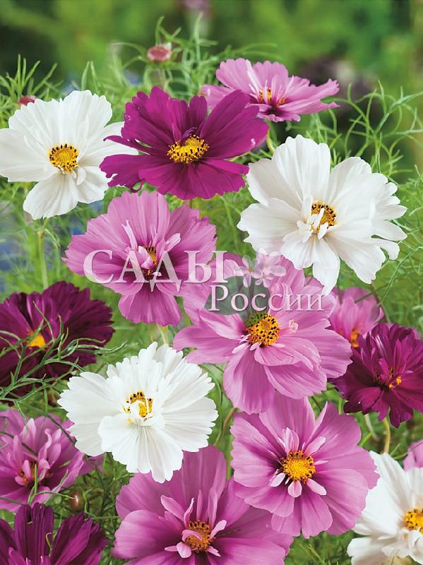 Космос Психея цветной наборОднолетники<br>Полумахровые цветы тёмно-красной, алой, розовой и белой расцветок.<br>