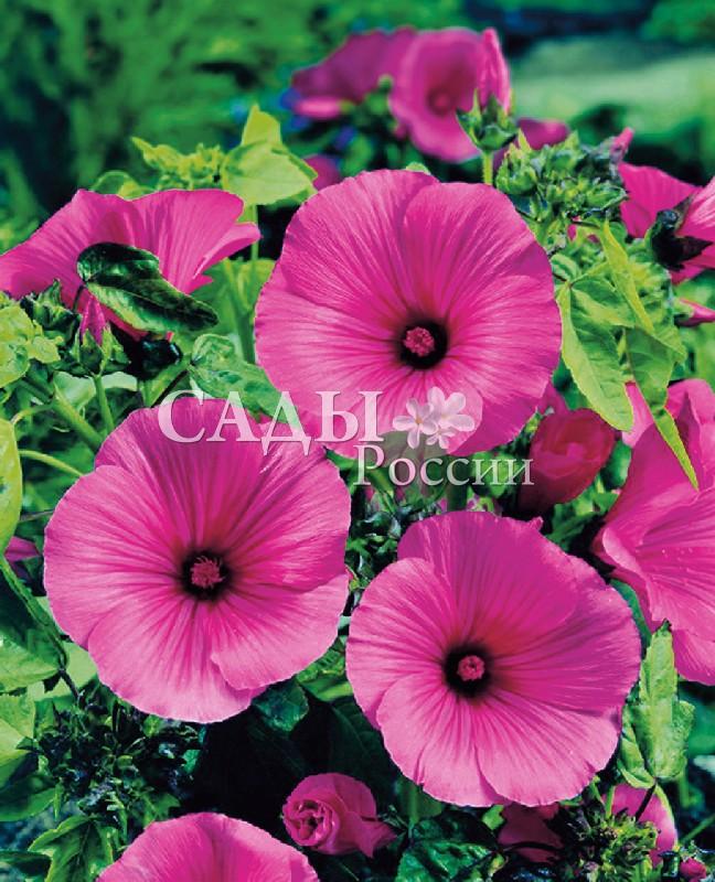 Лаватера Красный бантОднолетники<br>Цветы<br>огромные, атласные, диаметром свыше 10 см. Редкого, розово-карминного цвета.<br>