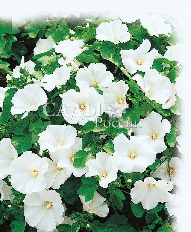 Лаватера МонбланОднолетники<br>Цветёт ослепительно белыми цветами. Фаворит среди летников. Украсит любое<br>место в саду.<br>