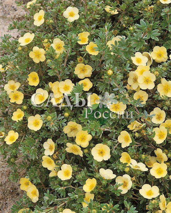 Курильский чай Красавица ПримроузДекоративные деревья, кустарники, лианы<br>Низкий кустарник высотой до 80 см. Крона широкораскидистая – подушковидная. Цветы крупные, до 3-х см в диаметре.<br>