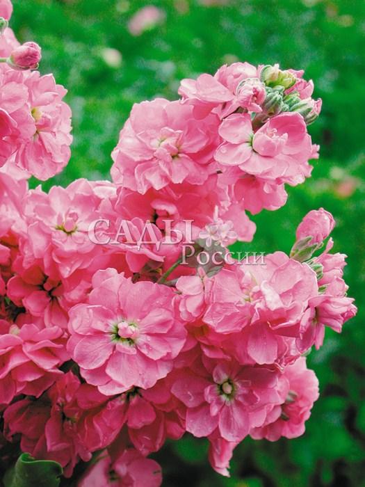 Левкой Тен Вик розовыйОднолетники<br>Кустик<br>крепкий, ветвистый, компактный высотой 35 см.<br>