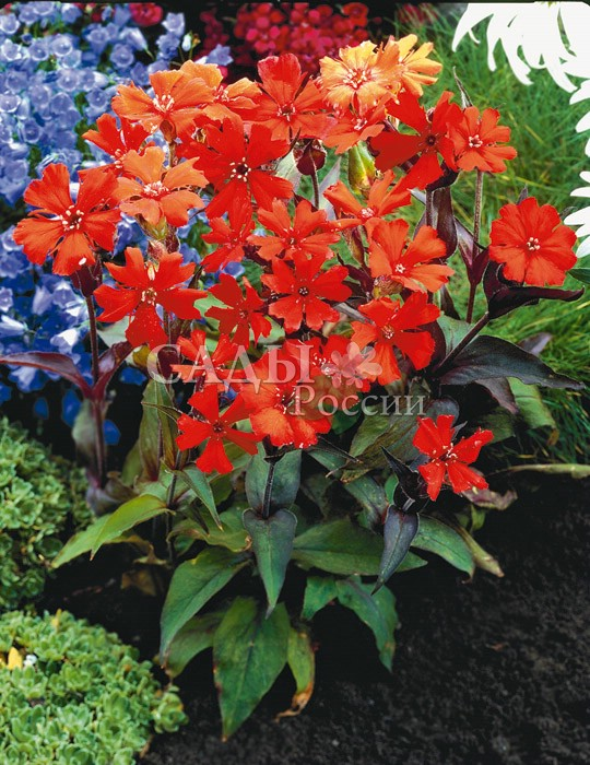 Лихнис ВезувийМноголетники<br>Известное растение до<br>70 см высотой. Цветы собраны в крупные щитки, которые горят огнём.<br>