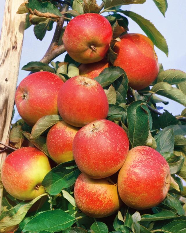 Яблоня Бельфлёр башкирскийЯблоня Зимние сорта<br>Новый сорт из Башкортостана.<br>Дерево среднерослое, скороплодное. Плодоносит с 3—4 лет<br>ежегодно.<br>
