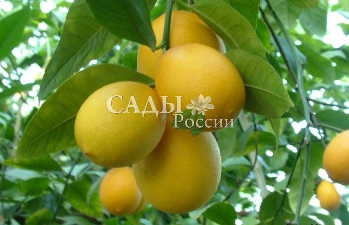 Набор лимонов: Юбилейный, Мейер, Ташкентский