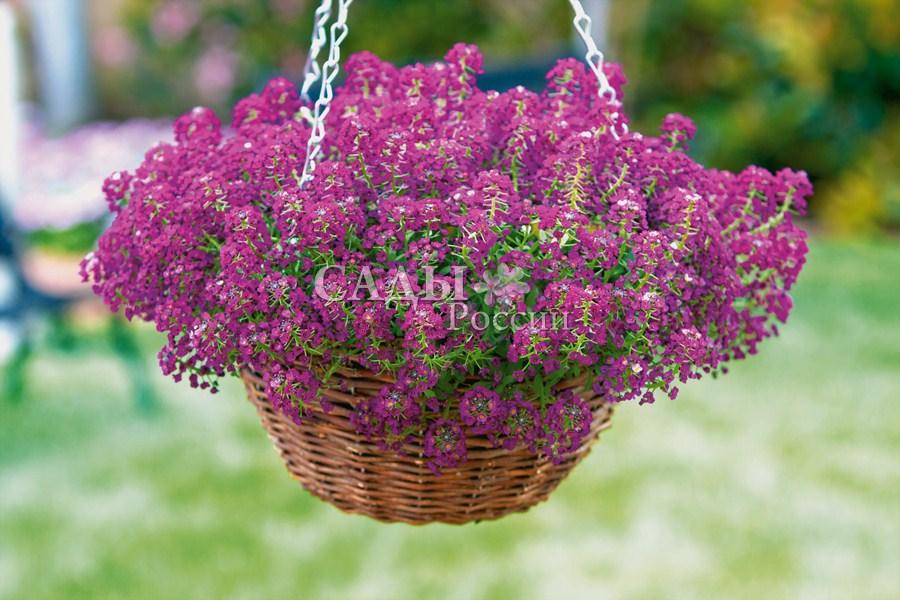 Лобулярия Фиолетовый корольОднолетники<br>Фиолетовый цвет.<br>