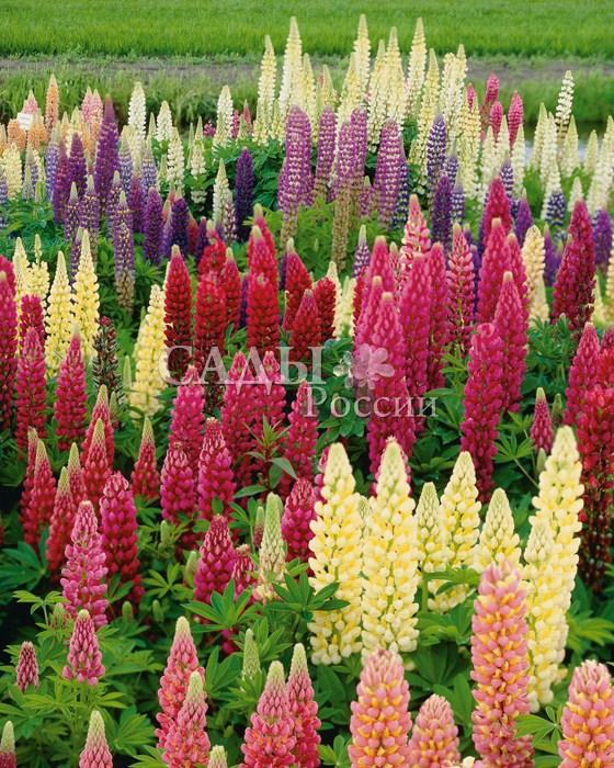 Люпин Рассел яркий наборМноголетники<br>Разноцветное сияние однотонных и двухцветных растений.<br>