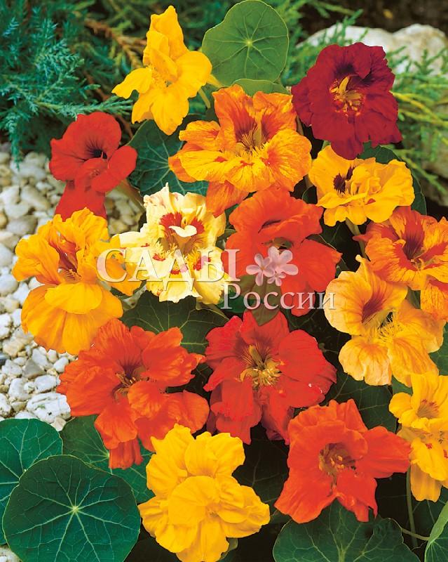 Настурция Глим яркий наборОднолетники<br>Всё лето распускаются новые и новые цветки оранжевых и пурпурных оттенков.<br>