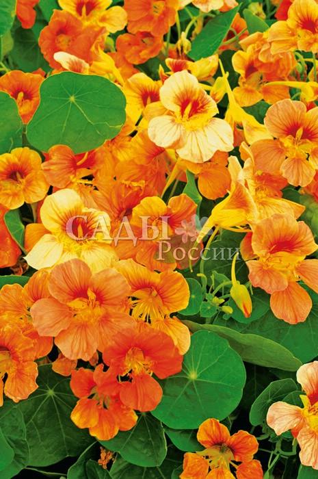 Настурция Оранжевое небоОднолетники<br>Мощное, вьющееся растение, способное по опоре подняться до<br>1,5 м в высоту, цветы крупные, полумахровые, оранжевого<br>цвета.<br>