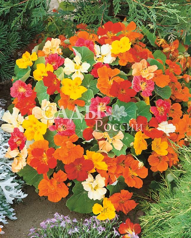 Настурция Первая красавица яркий наборОднолетники<br>Никакой цветник не будет полным без этой летней красавицы.<br>