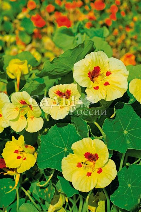 Настурция Пич МельбаОднолетники<br>Эта маленькая красавица украсит любой солнечный участок в саду.<br>