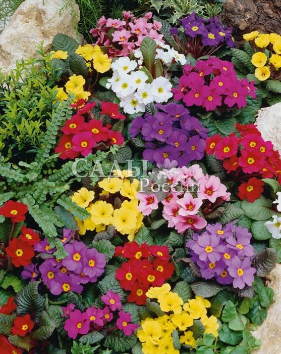 Примула Высокая яркий наборМноголетники<br>Цветонос высотой 20—30 см, цветки разных оттенков с<br>ярким пятном посередине, собраны в изящный зонтик.<br>