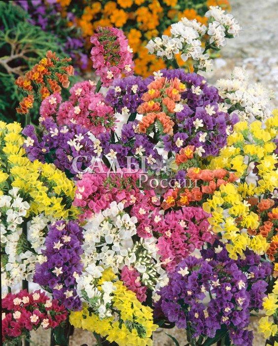Статица Тихий океан яркий наборСухоцветы<br>Яркие радужные цветы.<br>